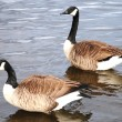 Wild Geese — Stock Photo #4870743