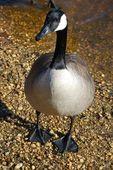 Wild Geese — Zdjęcie stockowe