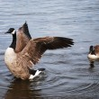 Wild Geese — Stock Photo #4883551