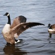 Wild Geese — Stock Photo #4883556