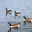 Wild Geese — Stock Photo #4883557