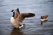 Wild Geese — Stock Photo