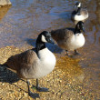 Wild Geese — Stock Photo #4916193