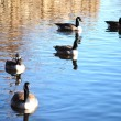 Wild geese — Stock Photo #5354648