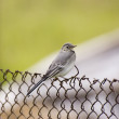 Young white wagtail - Stock Photo