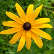 Beautiful black-eyed susans — Stock Photo