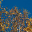 Stock Photo: Autumn crone of birch