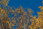 Autumn crone of a birch — Stock Photo