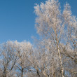 Stock Photo: Birch under the hoar-frost