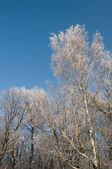 Birch under the hoar-frost — 图库照片