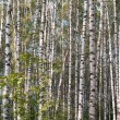 Birch woods. — Stock Photo