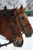 Horse heads — Foto de Stock