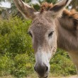 Sad donkey headshot — Stock Photo