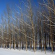 Orchard trees in winter. — Stock Photo