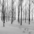 Rows of trees in winter. — 图库照片