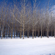Cluster of trees in a snow covered field in this winter scenic. — Stock Photo