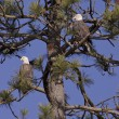 Stock Photo: Two Bald eagles in tree.