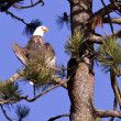 Stock Photo: Bald eagle perched in tree.