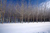 Cluster of trees in a snow covered field in this winter scenic. — 图库照片