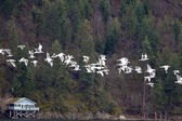Seagulls flying in a line. — Stock Photo