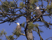 Bald eagles sharing a tree. — Stock Photo