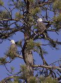 Två örnar i ett träd. — Stockfoto