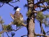 Bald eagle perched in a tree. — Stock Photo