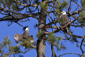Bald eagles in a tree. — Stock Photo