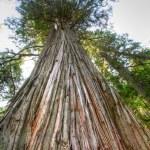 Old growth pine tree. — Stock Photo