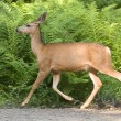 Deer moves along in woods. — Stock Photo #4890447