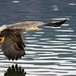An eagle has a fish in its talons. — Stock Photo