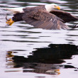A bald eagle flies off after catching a fish. — Stock Photo #4890499