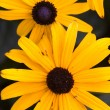 Black eyed susans. — Stock Photo