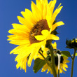 Bright sunflower. — Stock Photo
