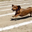 Weiner dog race. - Stock Photo