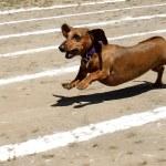 Weiner dog race. — Stock Photo