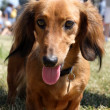 Weiner dog portrait. — Stock Photo