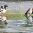 Mallards on frozen lake. — 图库照片