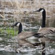 Canadian Geese. — Stock Photo