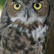 Great horned owl. - 