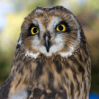 Short eared owl. — Stock Photo