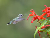 Hummingbird feeds on a flower. — Stock Photo
