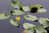 Yellow water lily on calm lake. — Стоковое фото