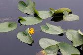 Sakin göl üzerinde sarı nilüfer. — Stok fotoğraf