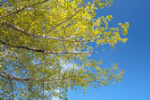 Yellow leaves and blue sky. — Stock Photo