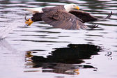 A bald eagle flies off after catching a fish. — Stock Photo