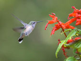 Hummingbird flaps its wings. — Stock Photo