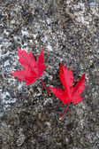 Red maple leafs on a rock. — Stock Photo