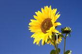 яркий желтый подсолнух. — Стоковое фото