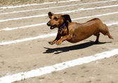 Weiner dog race. — Stock Photo